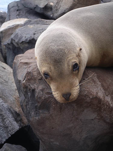 A sea lion in the Galapagos