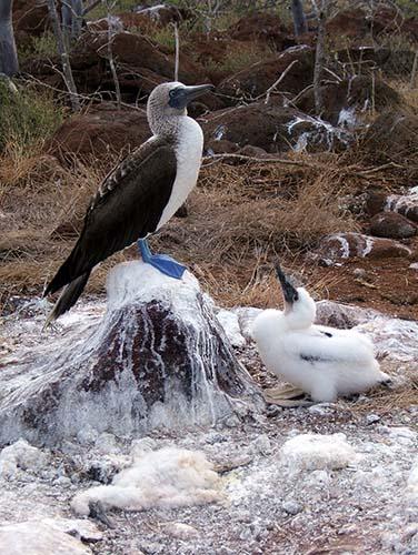 seymour island booby